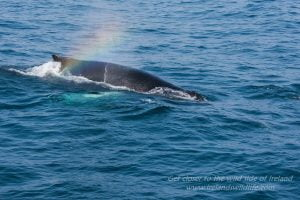A humpback whale swimming through a self-created rainbow