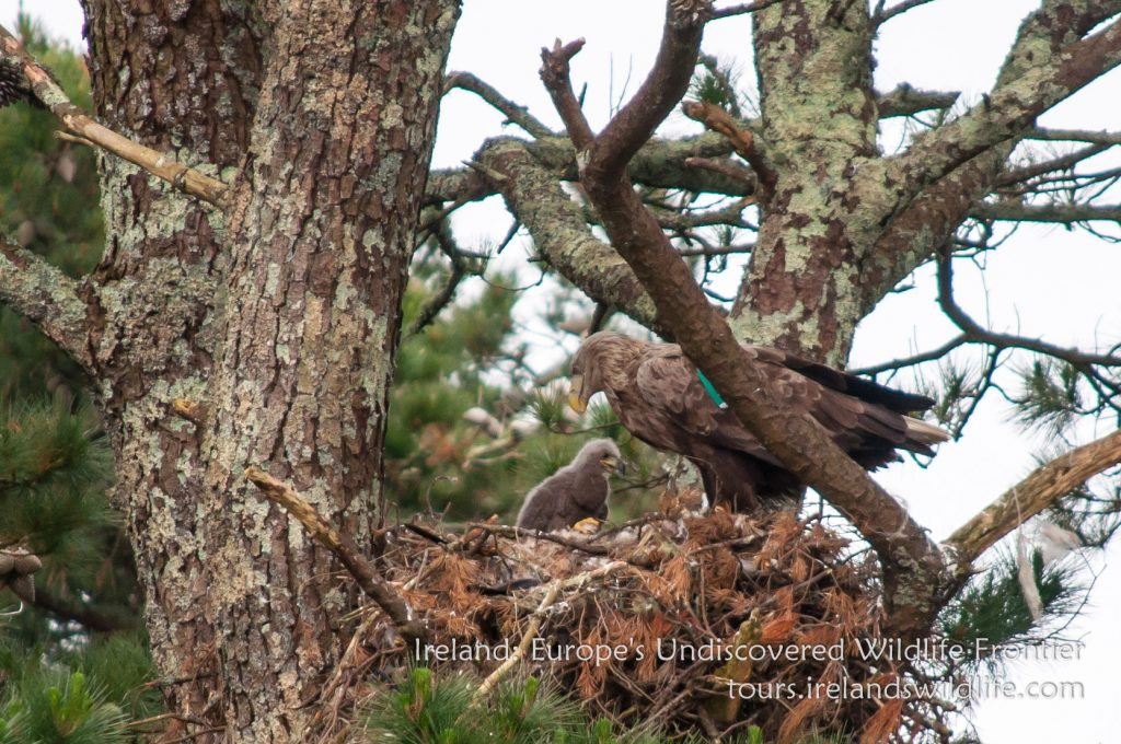 White tailed eagle with chick on the Irish south coast