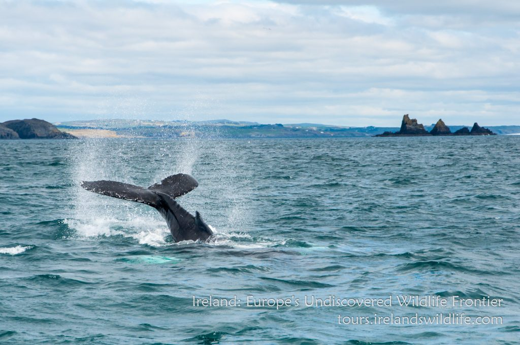 Humpback whale lob-tailing off Ireland's Wild South Coast