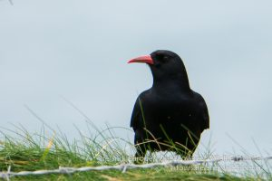 Choughs are a speciality of the Irish south coast