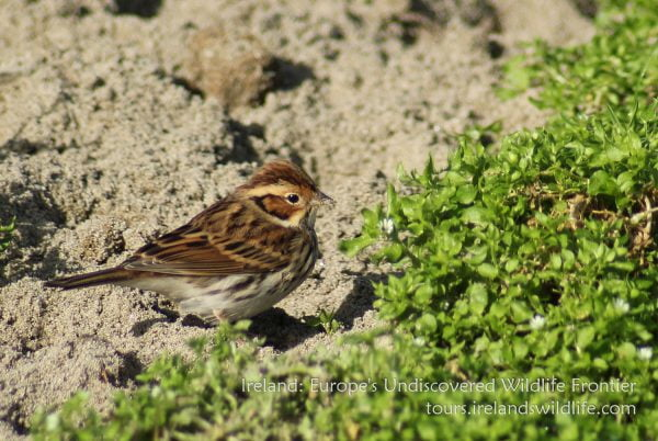Little Buntings are reasonably regular migrants on the Irish south coast in autumn