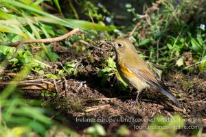 Red-flanked Bluetail, West Cork, Ireland