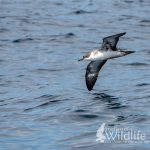 Great Shearwater in flight
