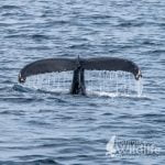 Humpback Whale Fluking off Ireland's south coast