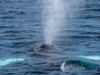 Humpback Whale, West Cork