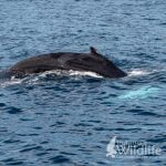 Humpback Whale on and Ireland's Wildlife Tour