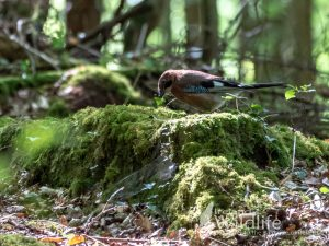 Irish Jay, West Cork