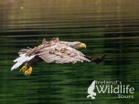 White Tailed Eagle, Ireland