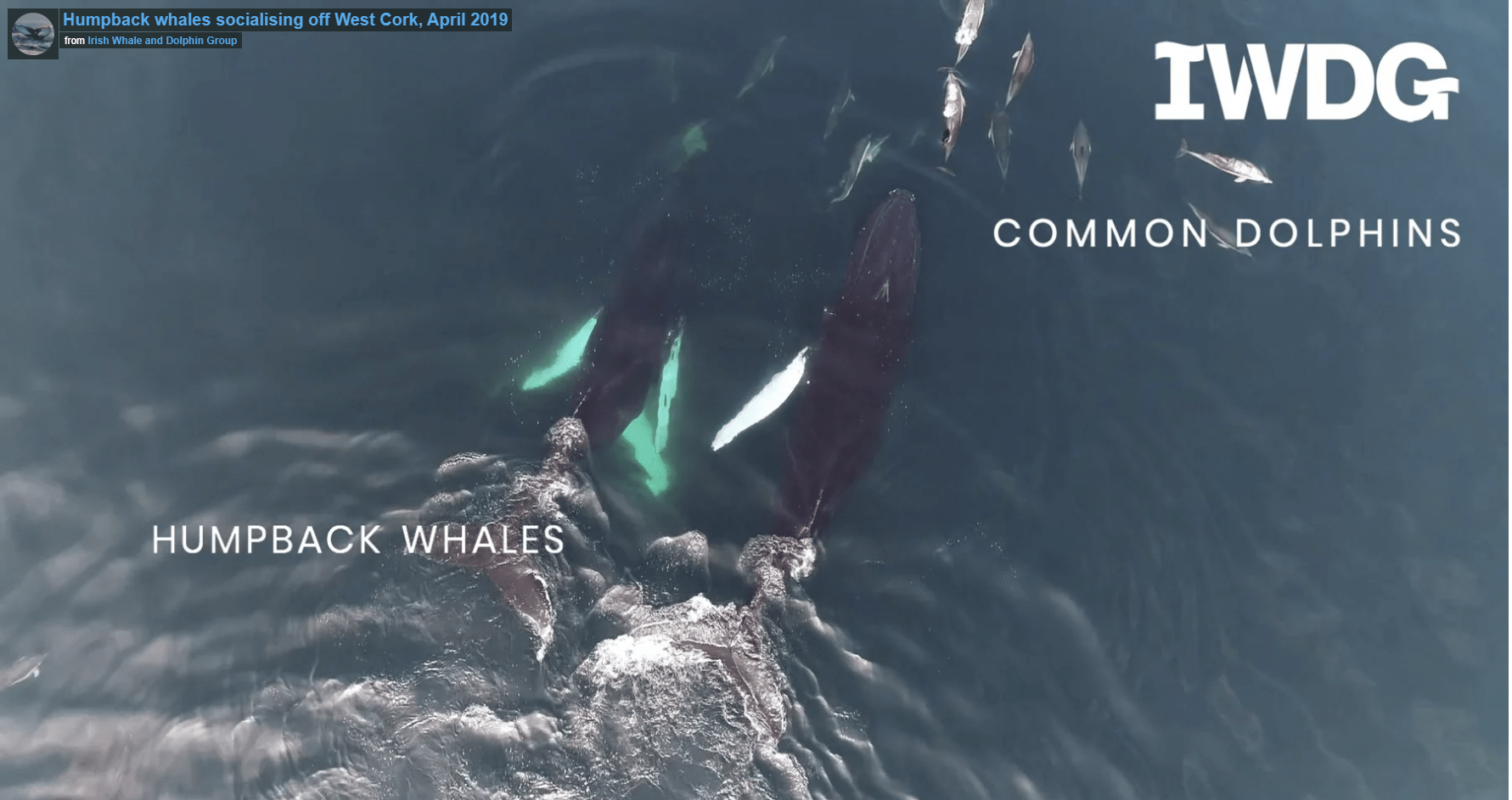 Incredible drone footage of humpbacks off Ireland's Wild South Coast